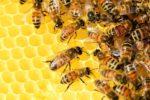 Apicoltura. La Regione investe 555 mila euro la qualità del miele e ripopolamento degli alveari. Bando fino al 19 novembre